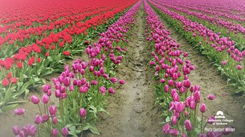 Field of tulips, red and pink